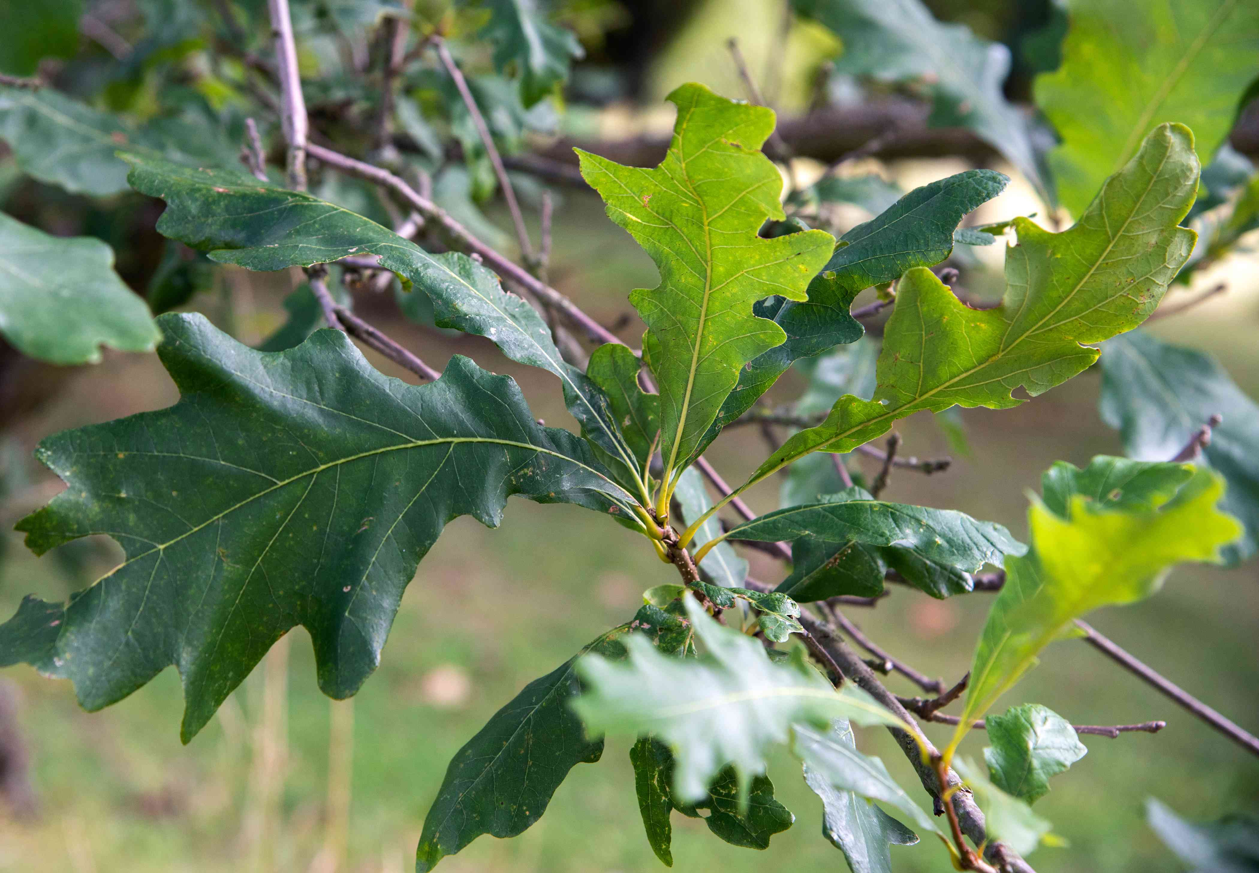 Swamp white oak tree branch with loped leaves closeup