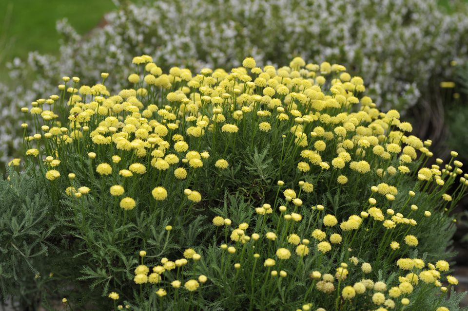 Lavender cotton plants with small yellow flowers on wiry stems