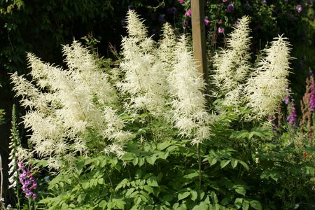 Create a white shade garden with these 8 plants flowering goats beard aruncus dioicus mightylinksfo