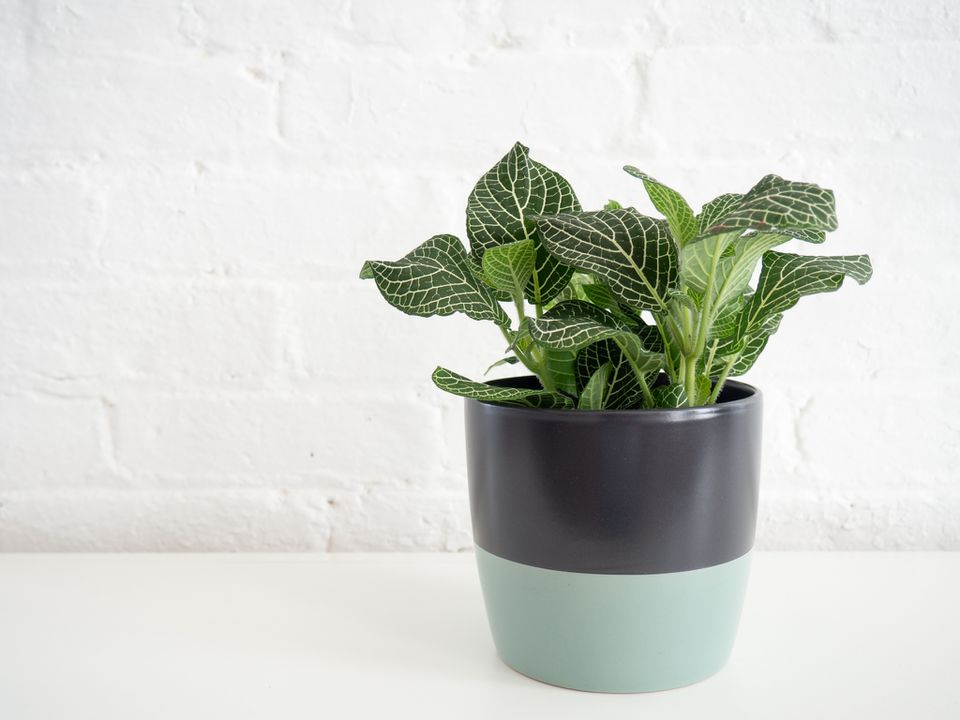 a fittonia in a multicolored planter