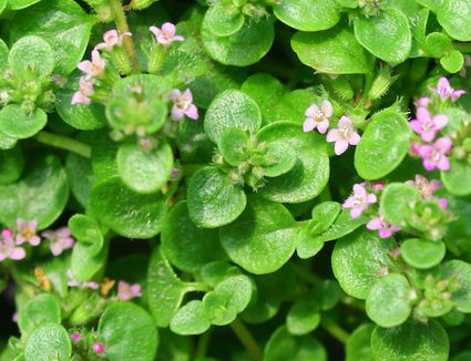 Glossy green rounded leaves with tiny pink five petalled flowers