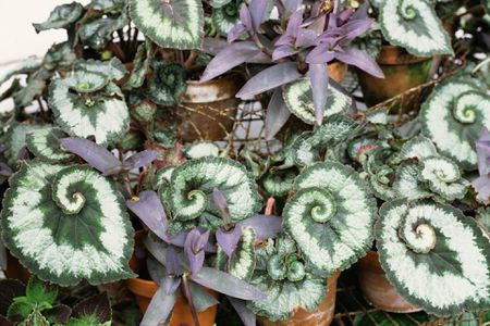 How to Grow and Care for Rex Begonias