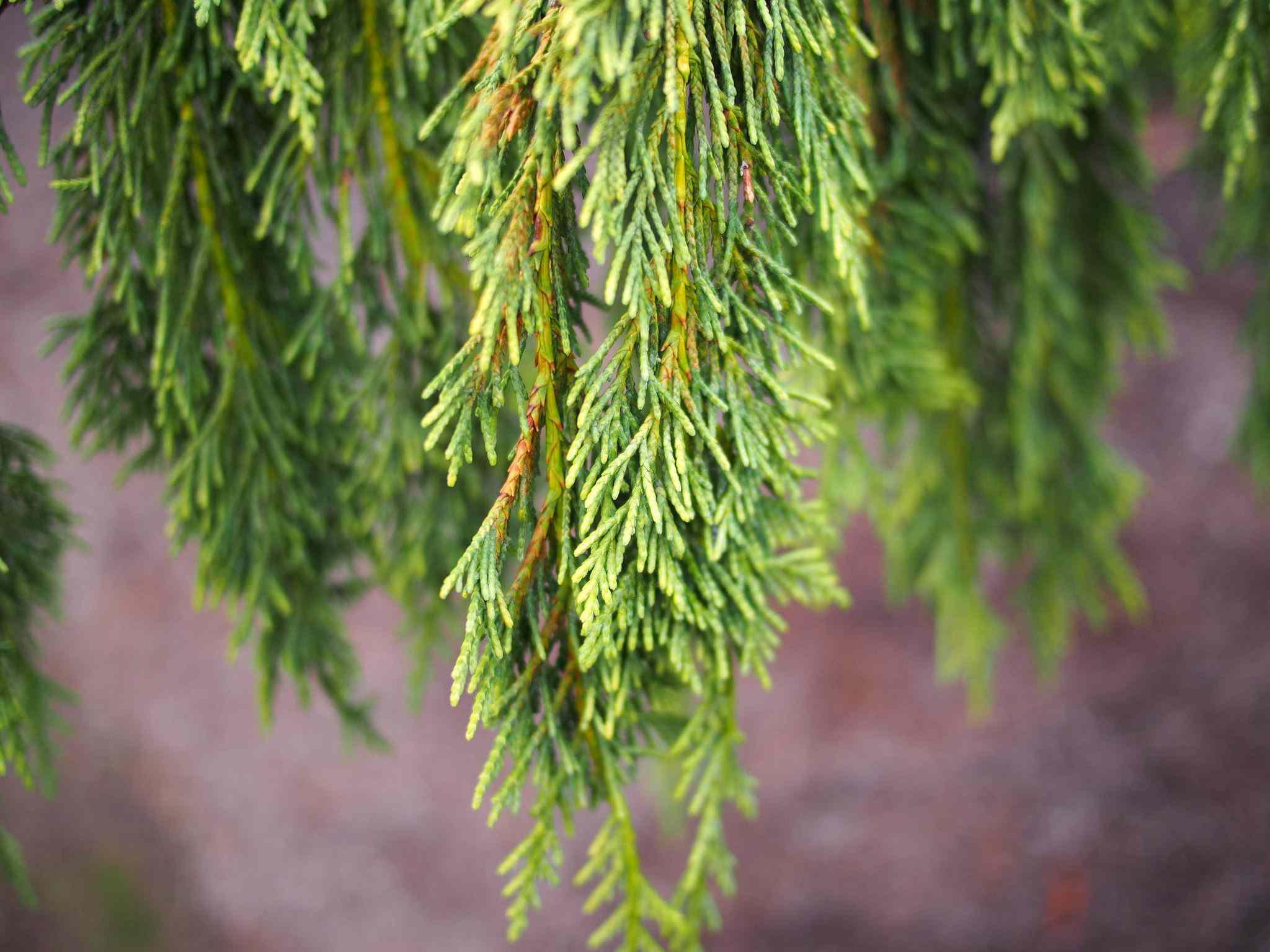 19 Best Types Of Weeping Trees