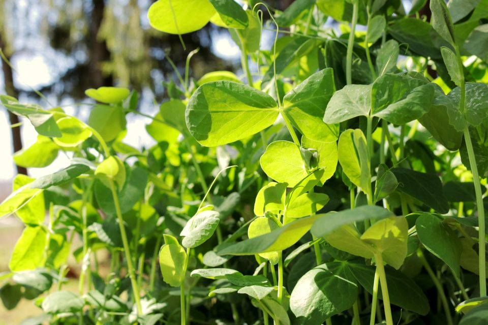 Pea shoots and tendril plants growing in sunlight closeup