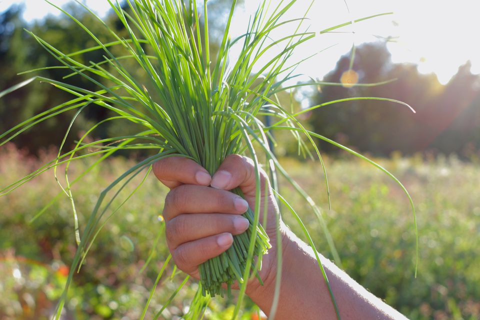 person holding bunch of chives