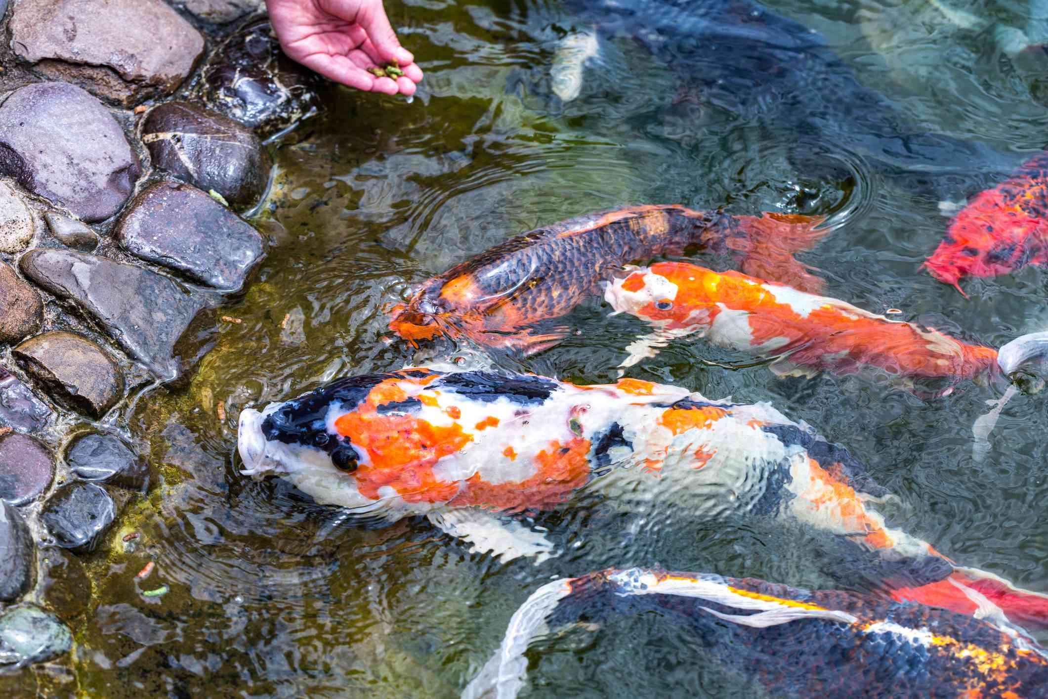 Koi fish feeding on a rocky shore.