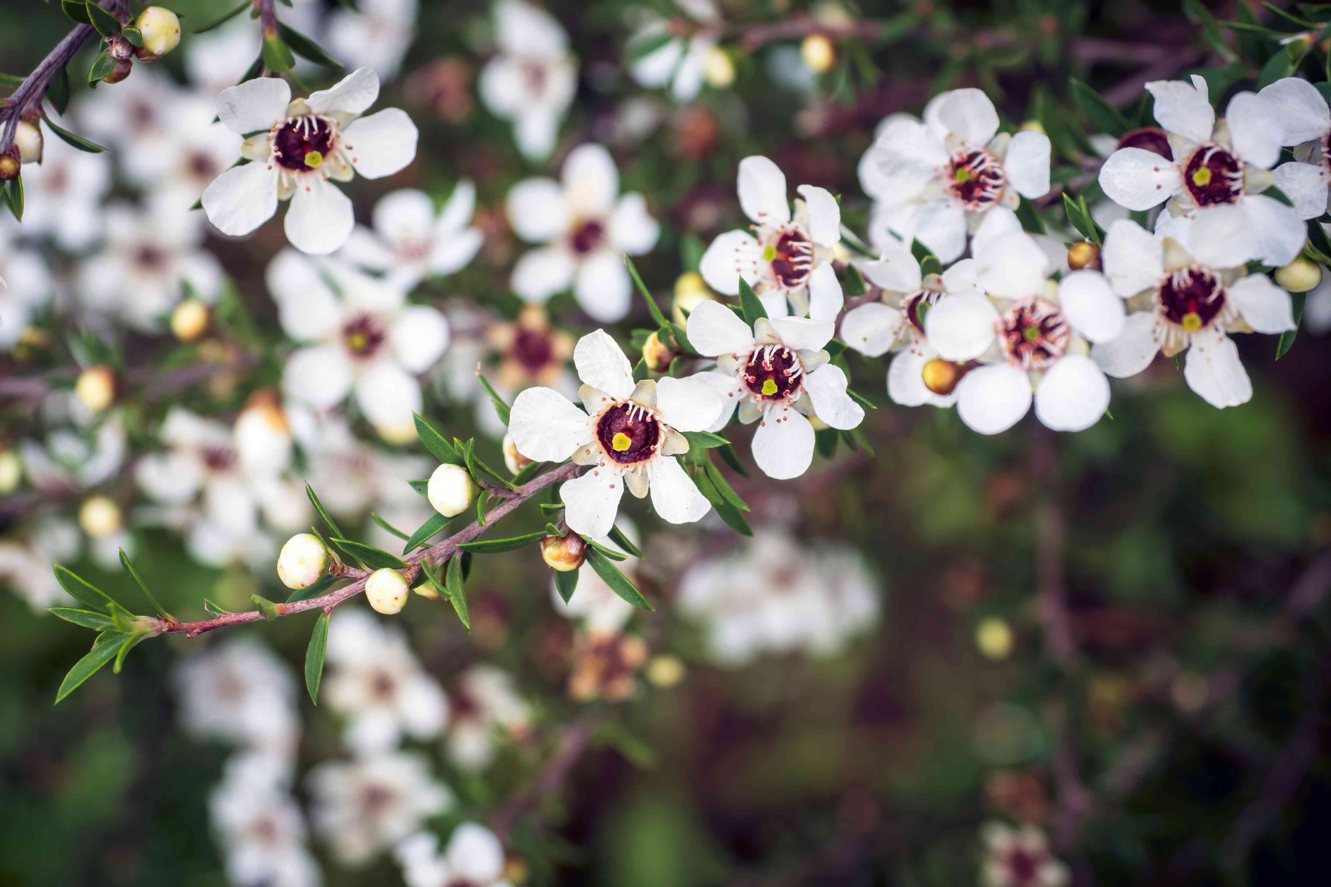 New Zealand tea tree branch with small white blossoms with red centers and round white buds with small prickly leaves