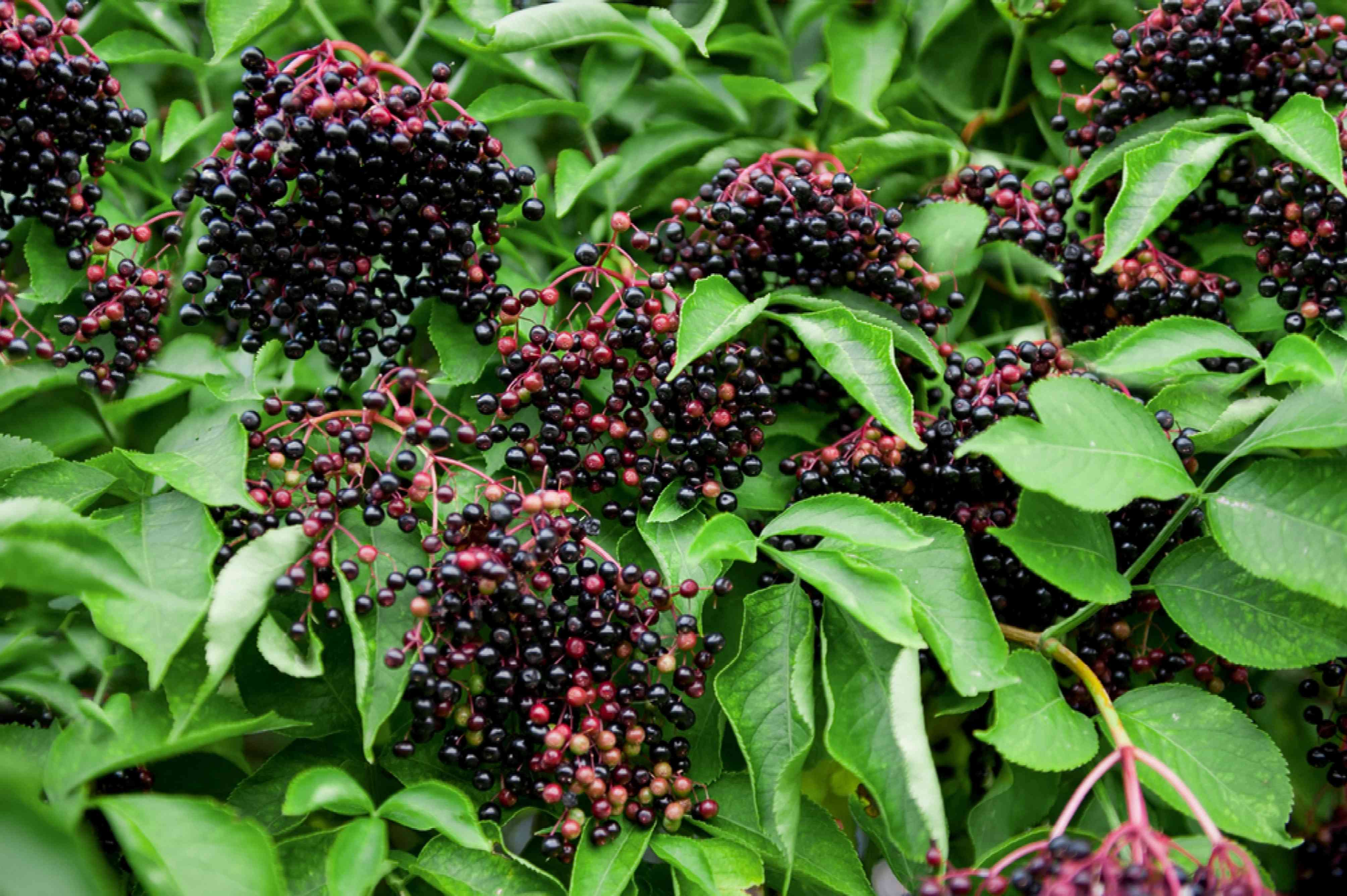 Common elderberry plant with black and red berries hanging between leaves