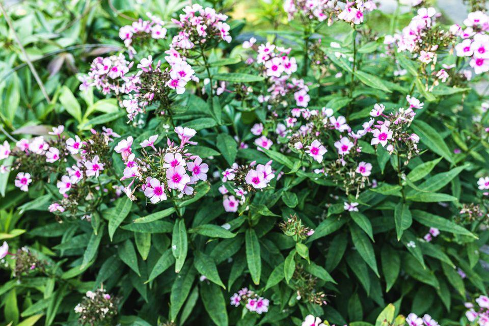 Nora Leigh tall garden phlox