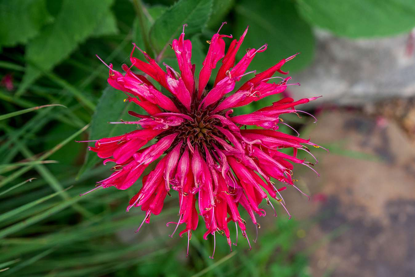 closeup of red bee balm