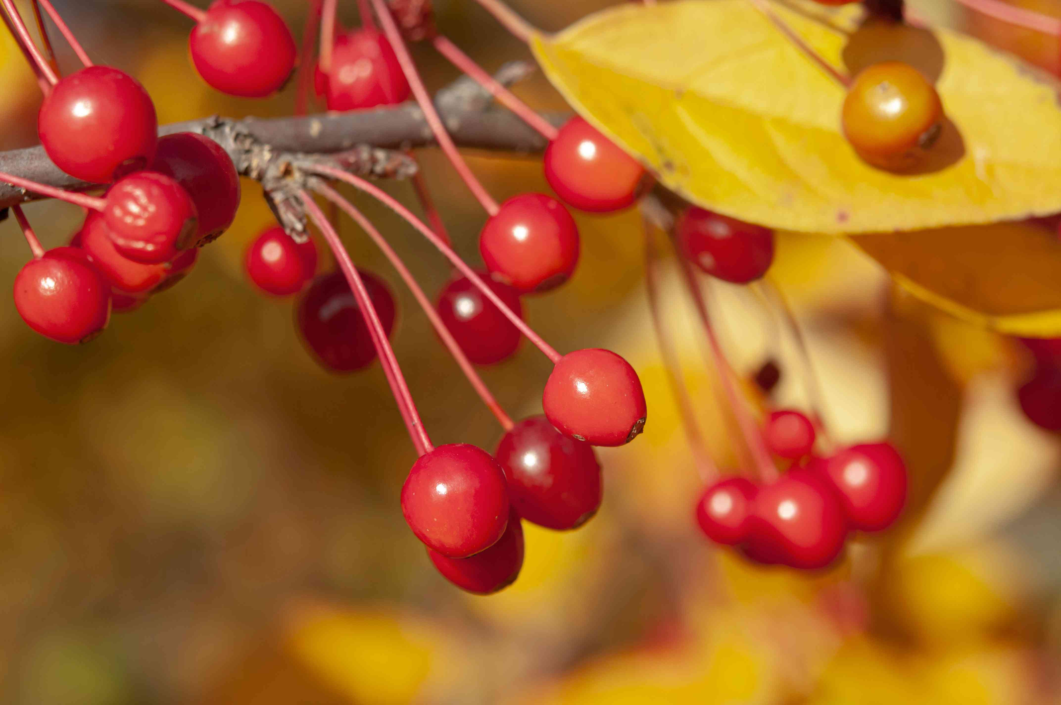 Weeping crabapple tree branch with small red fruit and yellow leaf in sunlight closeup