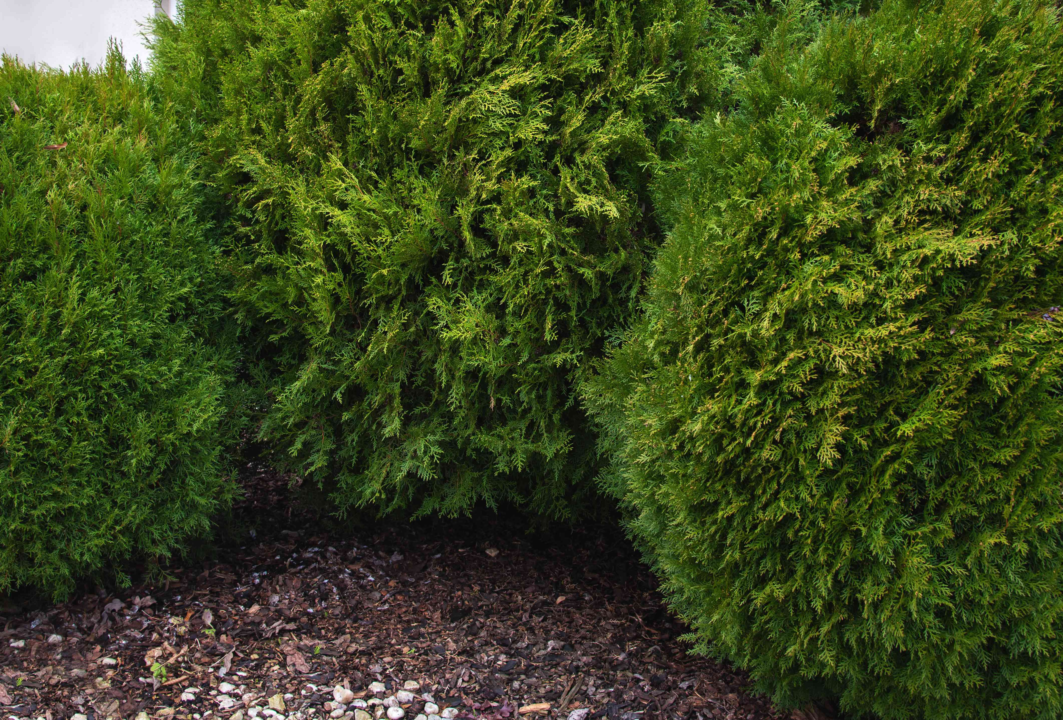 Tall arborvitae shrubs as topiary plants