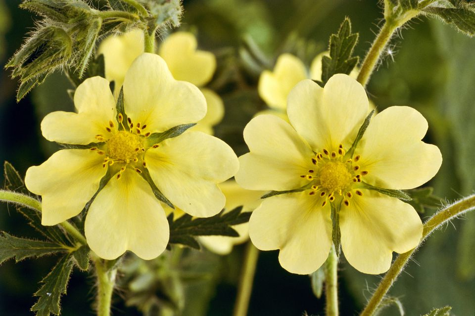 10 best shrubs with yellow flowers closeup of two pale yellow potentilla flowers mightylinksfo
