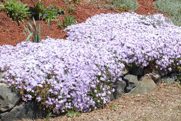 Creeping phlox with lavender-colored flowers.