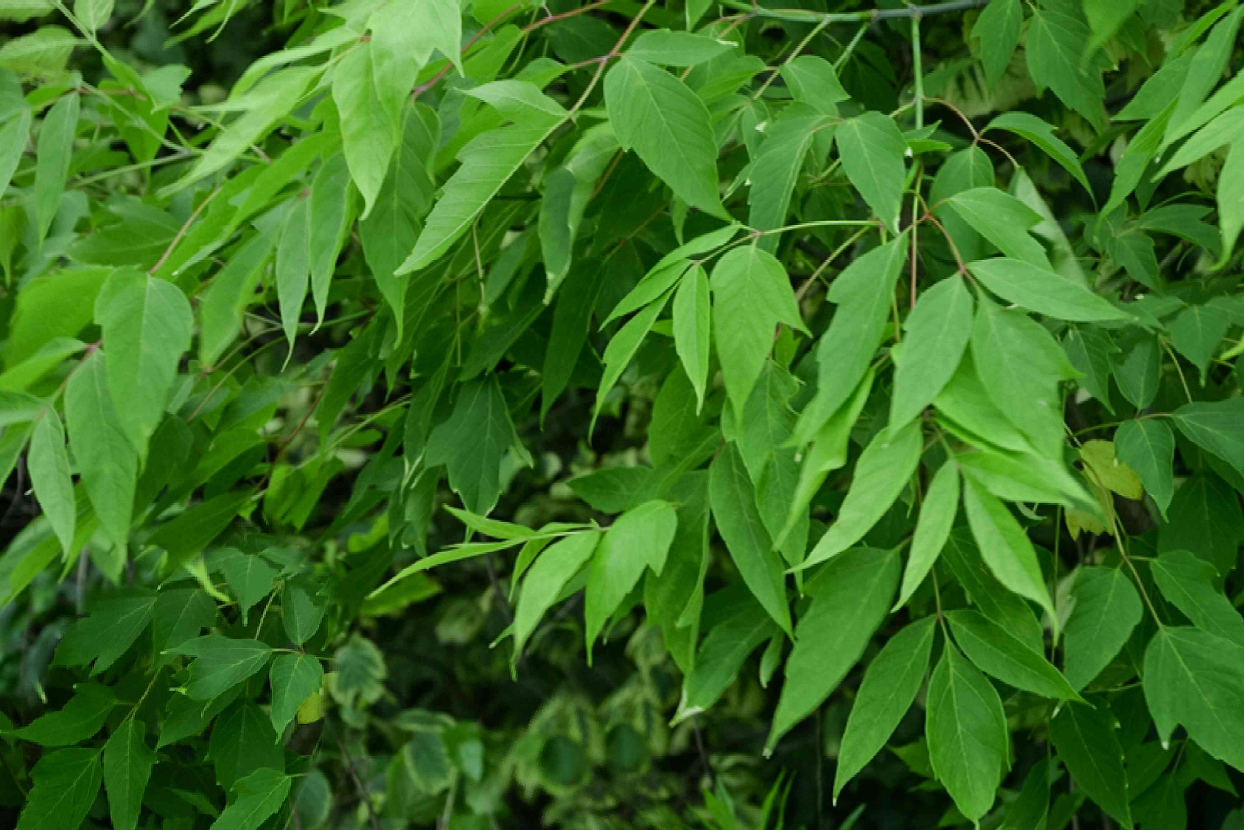 Boxelder tree branches with bright green leaves with irregular toothed edges