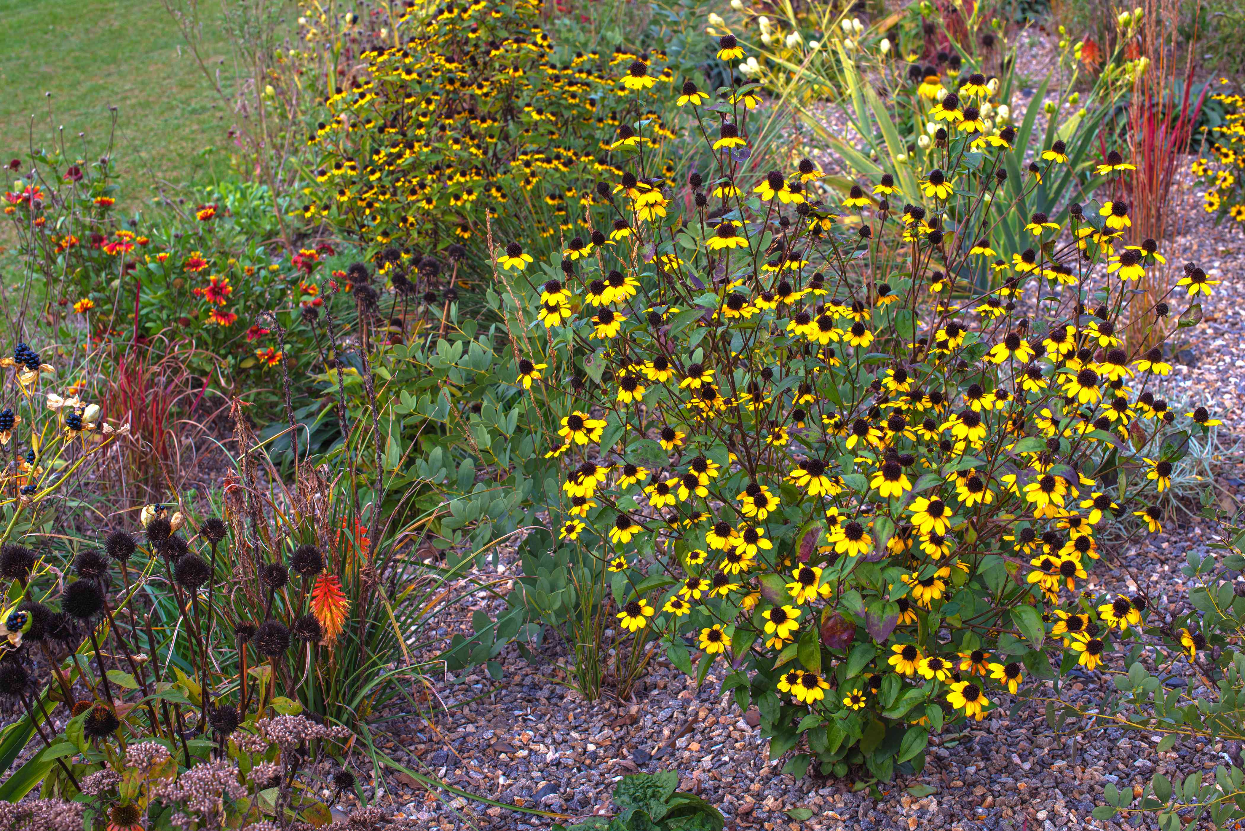 Brown-eyed susan wildflowers on tall thin stems and small yellow flowers in flower garden