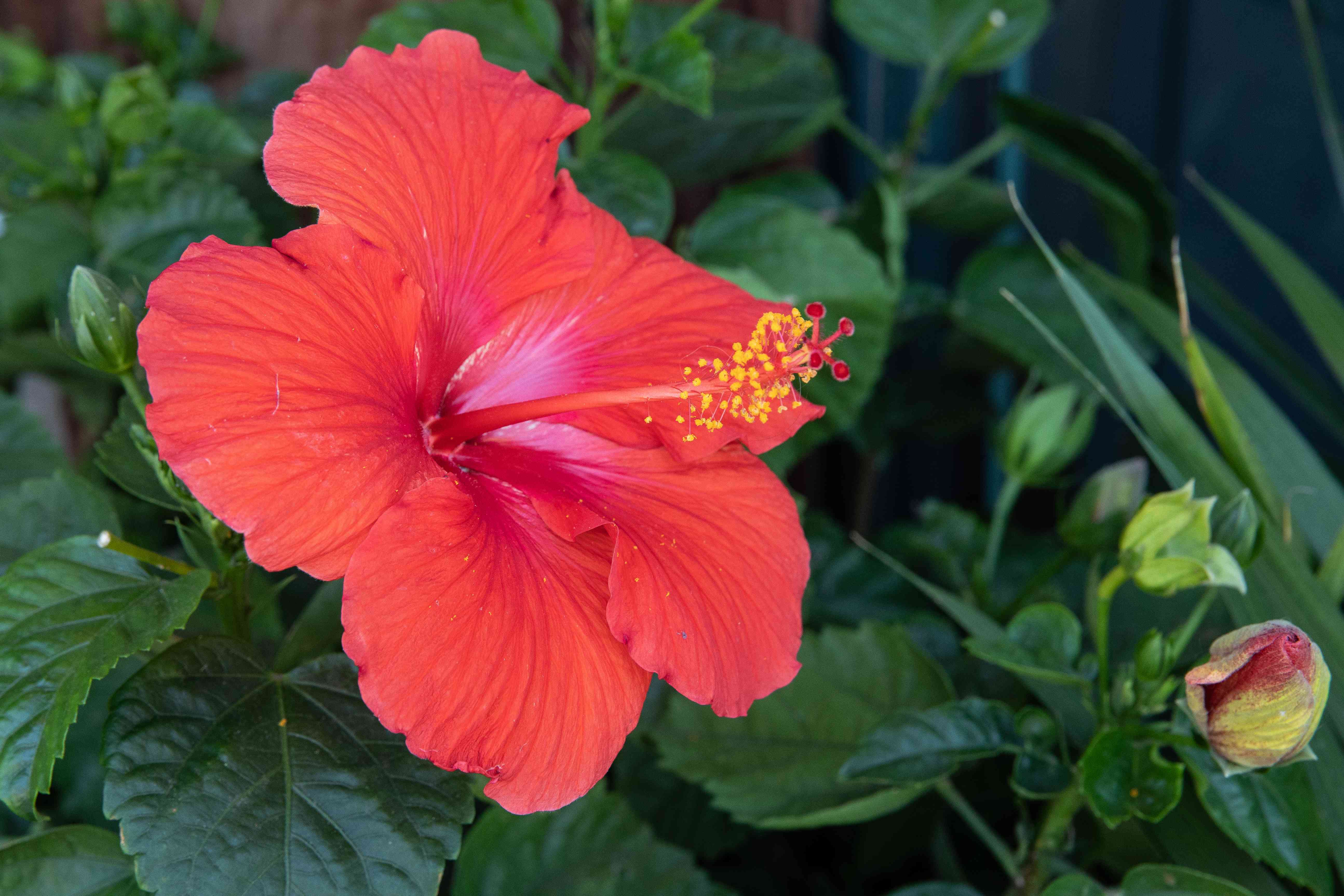 Hibiscus plant with large red flower with long stamen next to buds closeup