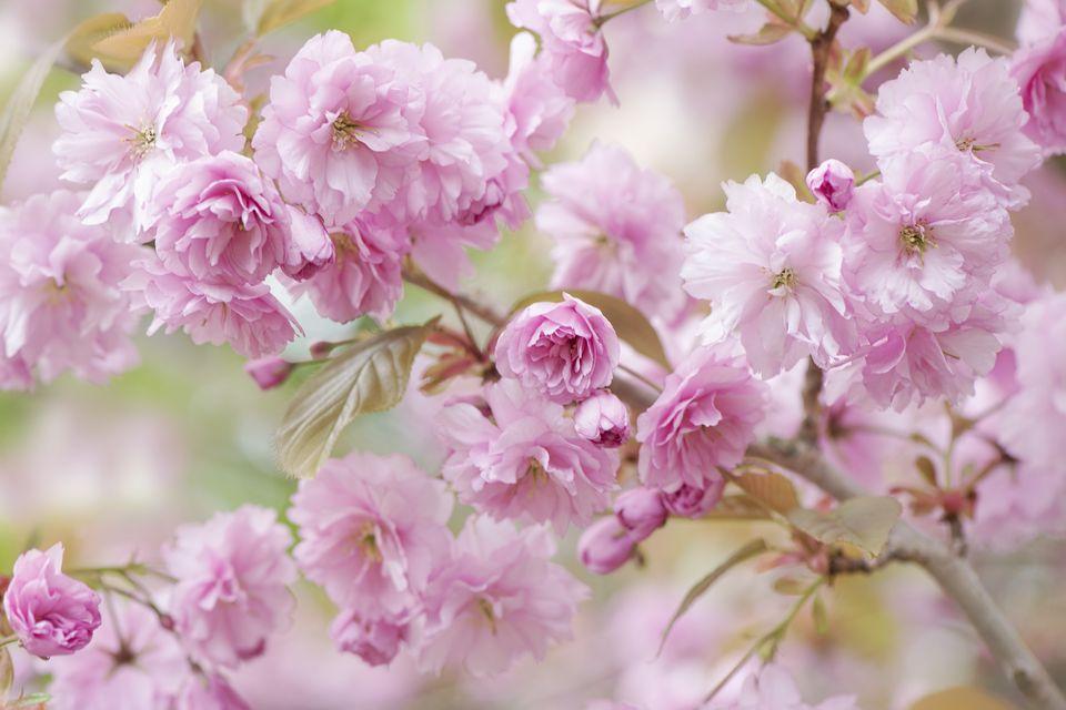 Spring Cherry Blossom 'Prunus Kanzan'