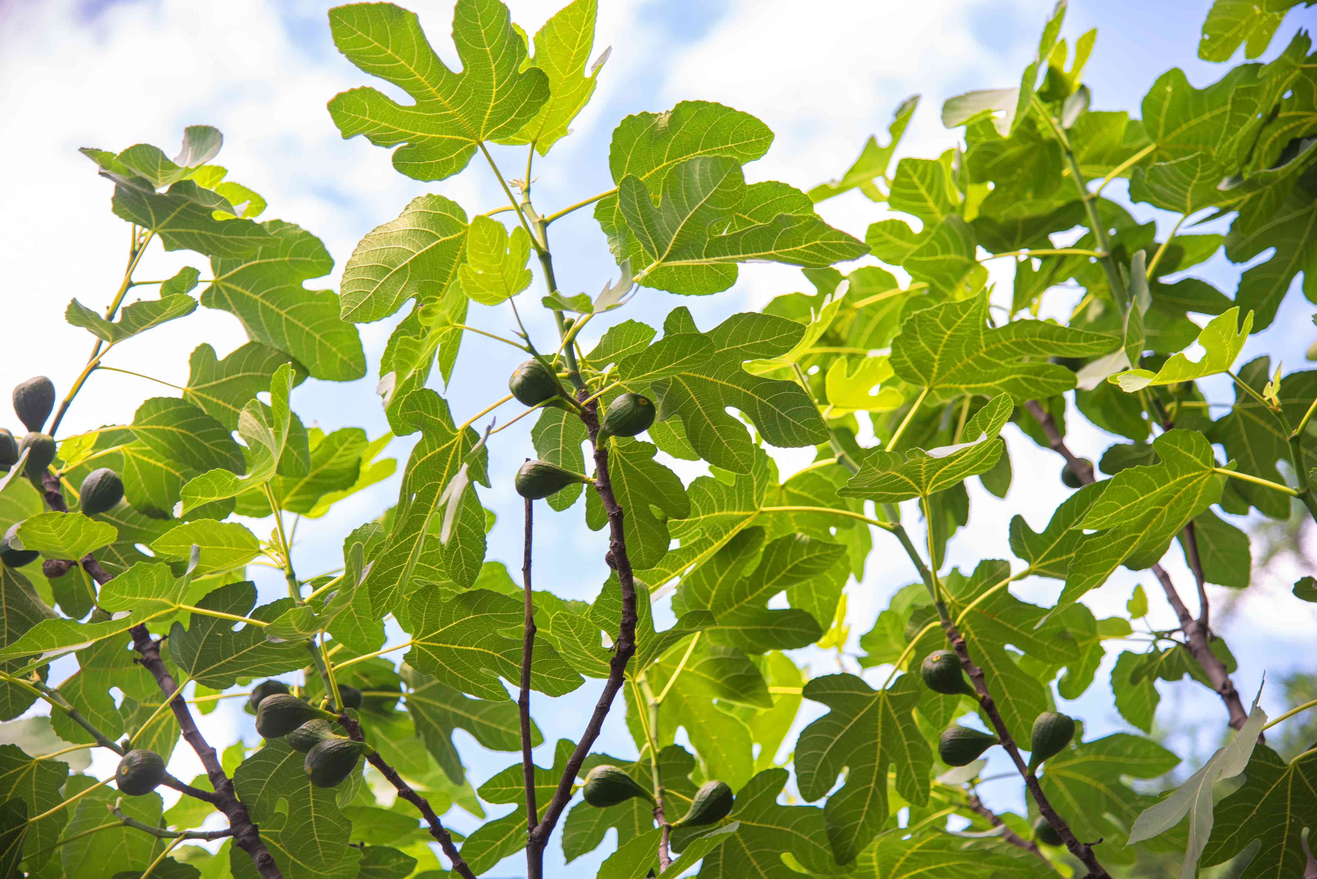 Organic fig tree with large lobed leaves on thin stems and small figs hanging