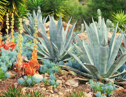 Growing And Caring For Agave Plants