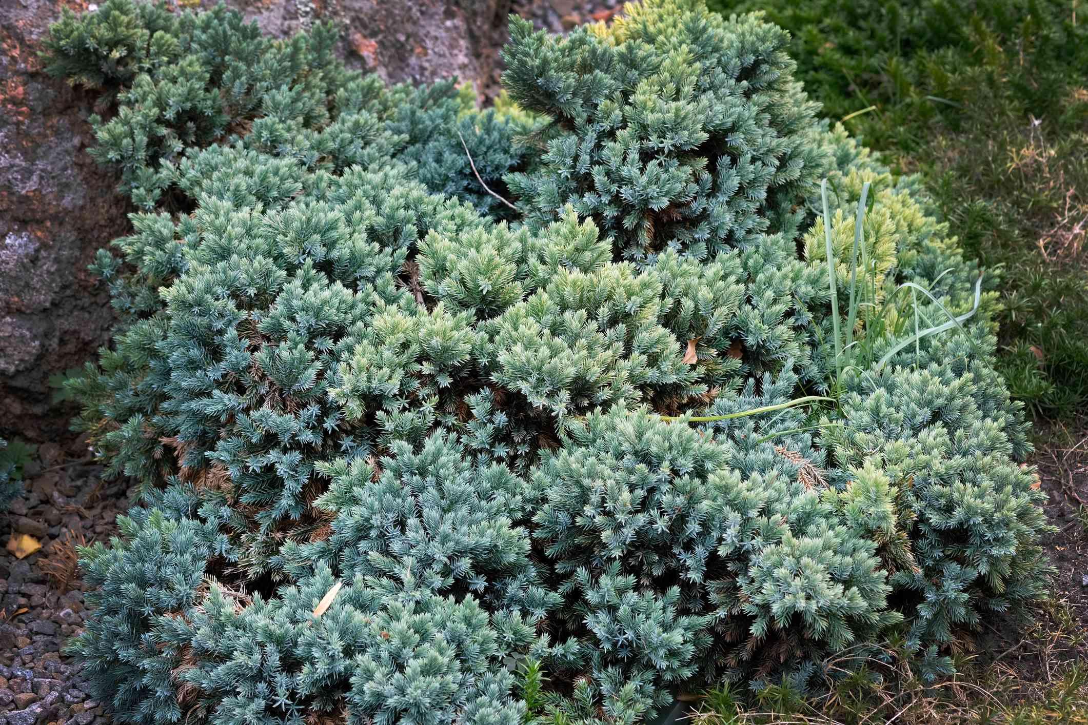 Juniperus squamata es una especie de enebro nativa del Himalaya