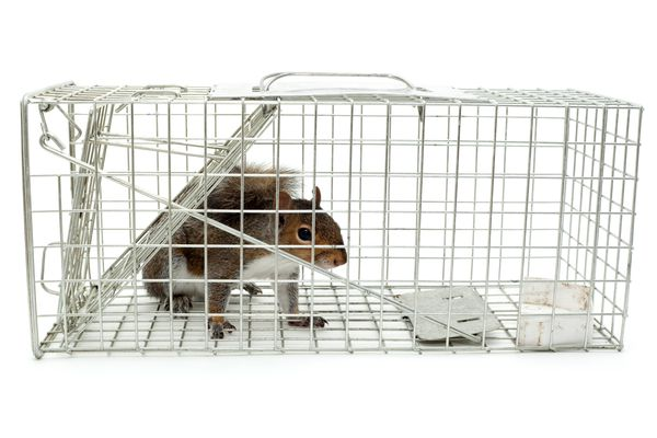 A squirrel trapped in a cage