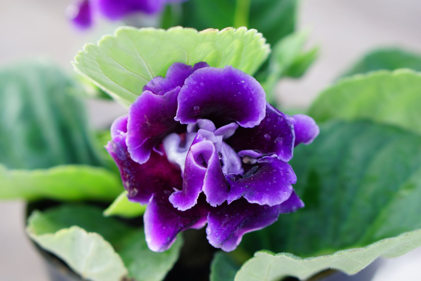 Gloxinia senningia hybrid plant with purple flower closeup