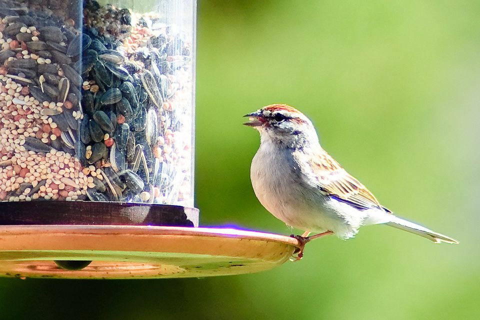 Chipping Sparrow at a Bird Feeder