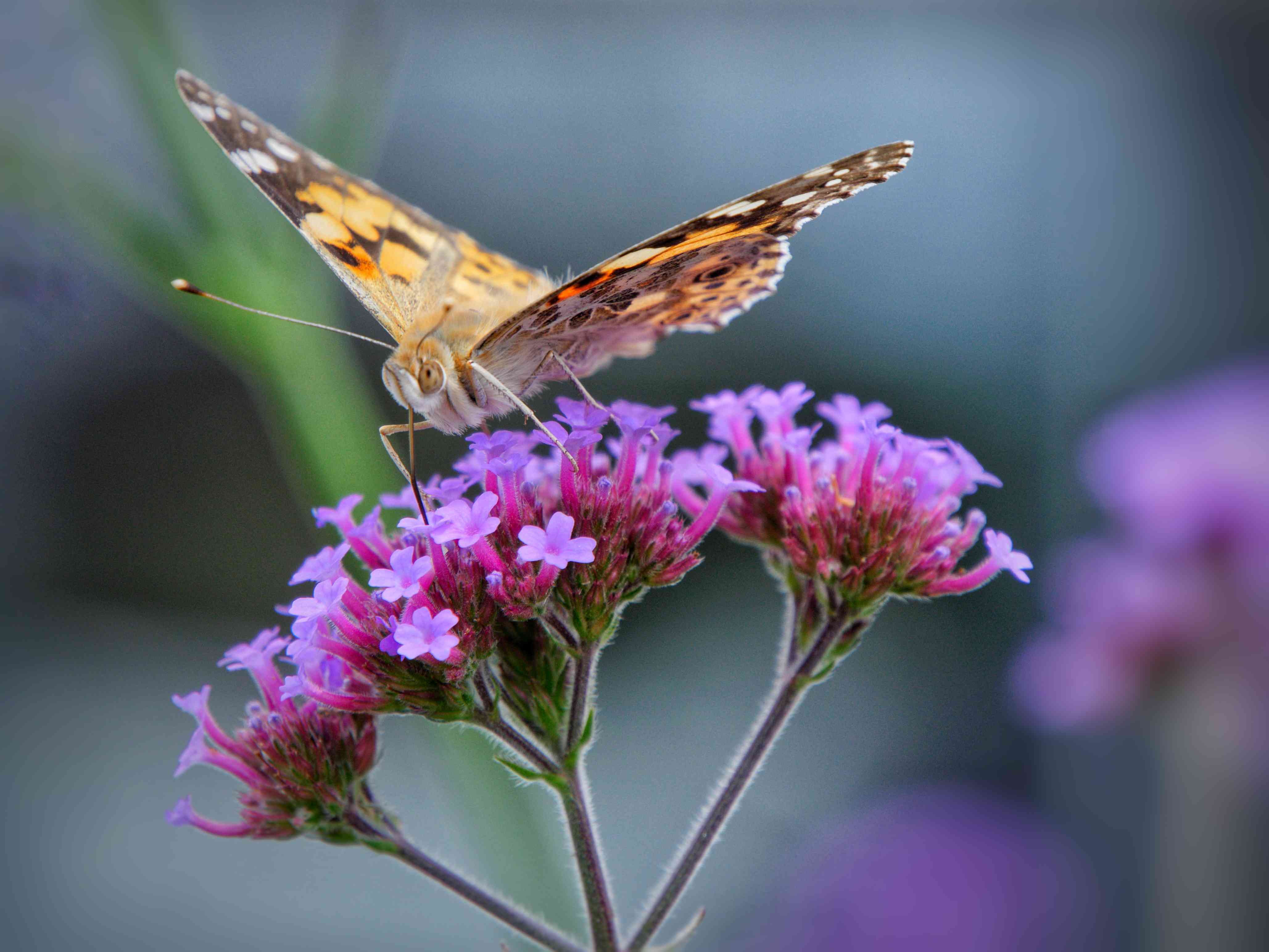Close-Up Of British Butterfly Pollinating On Purple Flower