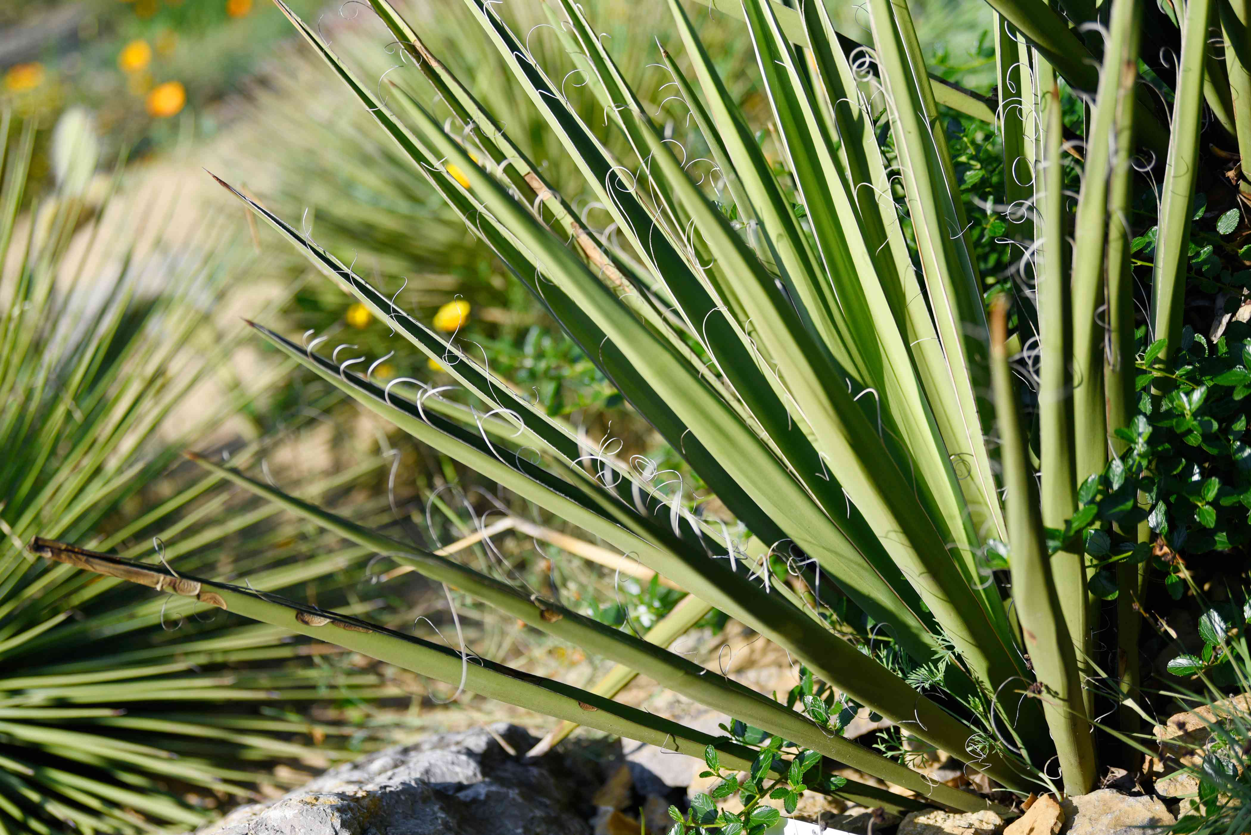 Yucca baccata plant with tall sword-like leaves spreading in fan-shape in sunlight
