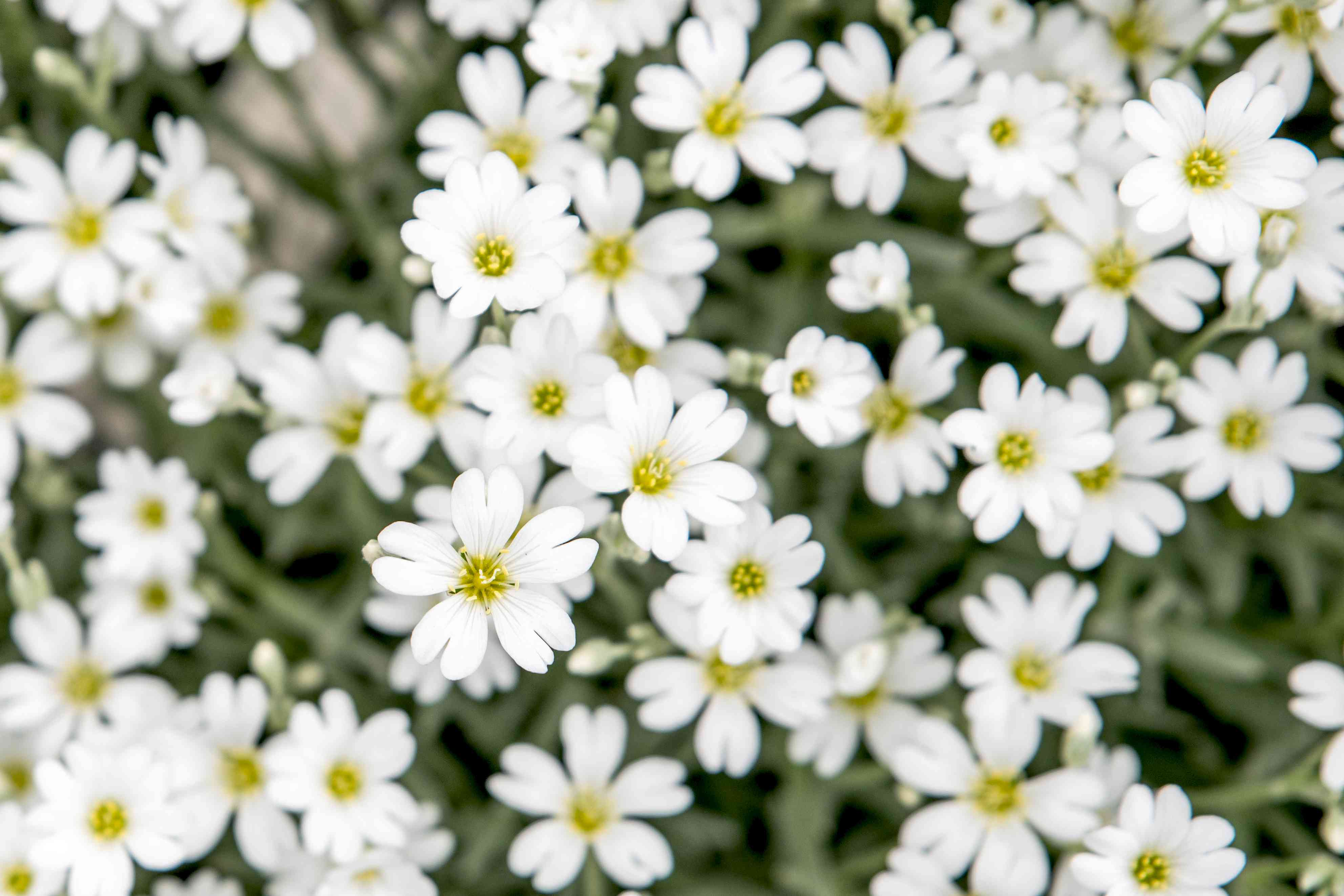 Mid-season white flowers clustered together with tiny yellow centers closeup