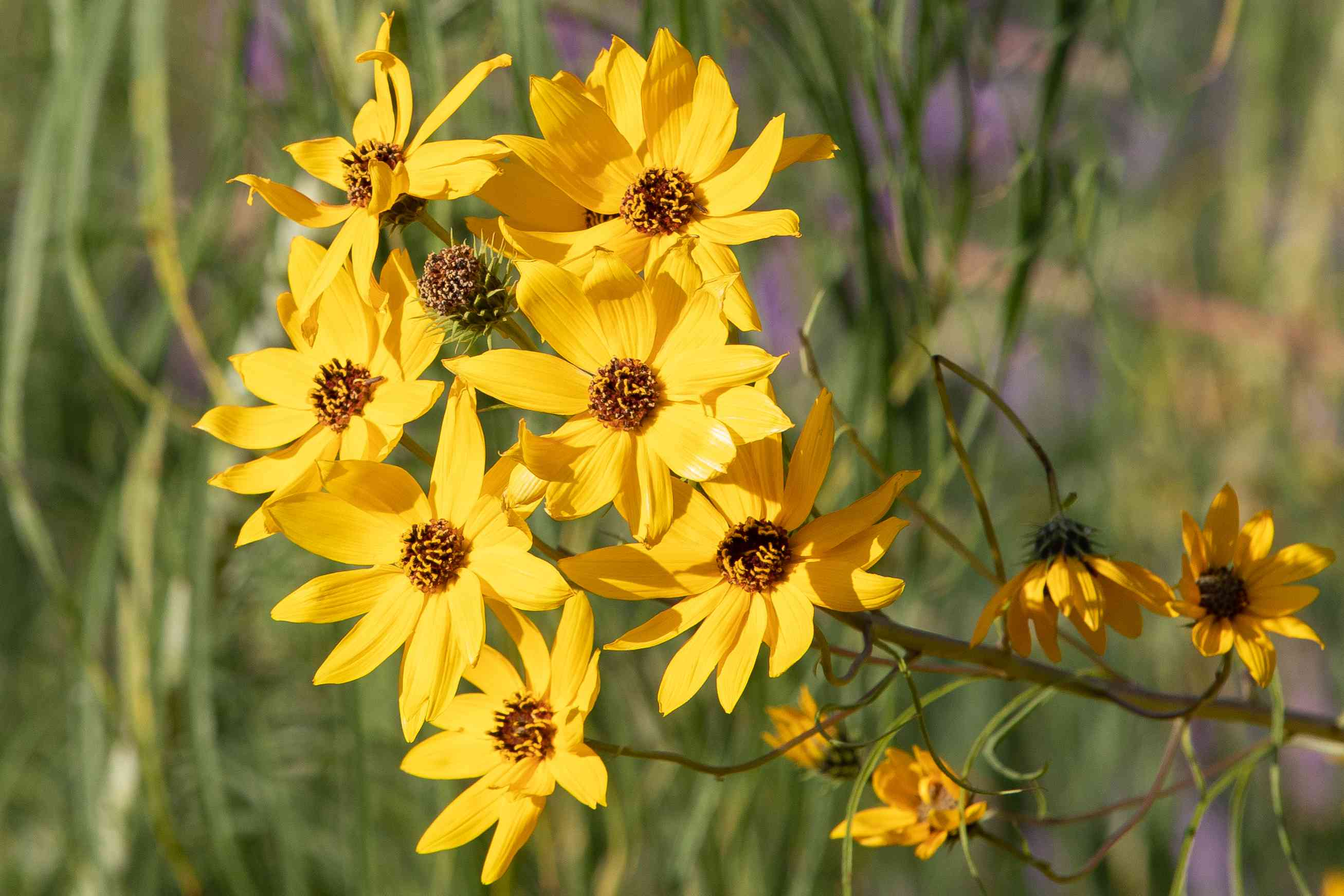 Coreopsis flowers with yellow petals clustered together off stem in sunlight