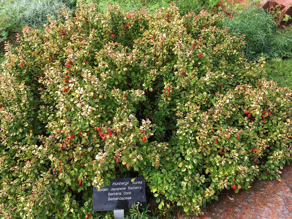 Golden Japanese Barberry Bush in an ornamental garden