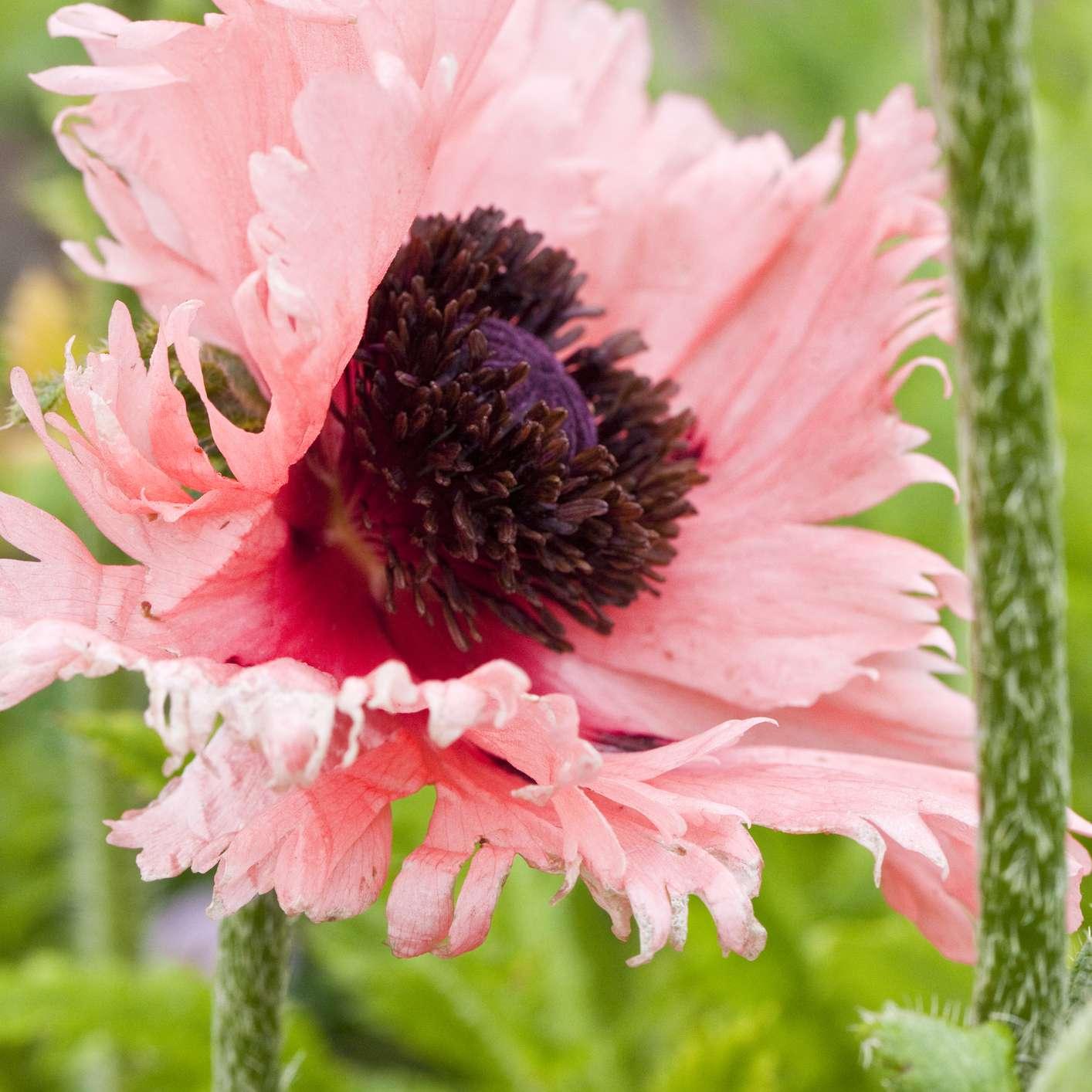 Pink Ruffles Poppy
