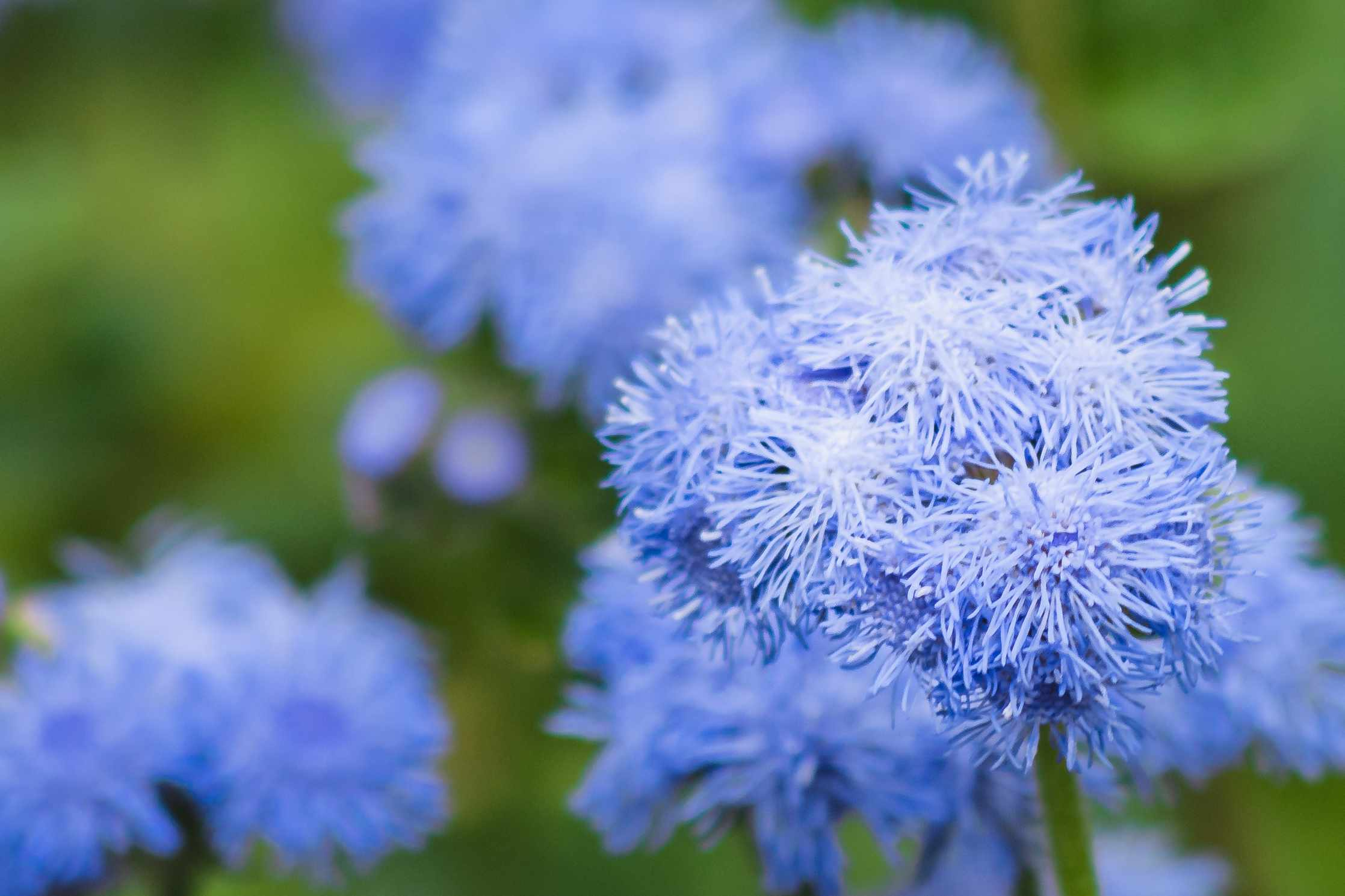 Blue ageratum plant with blue flowers