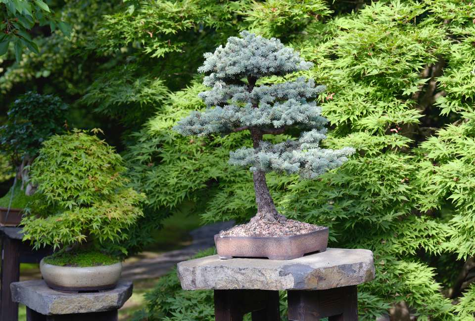 Pine bonsai tree on pedestal with rock on top next to other bonsai and trees