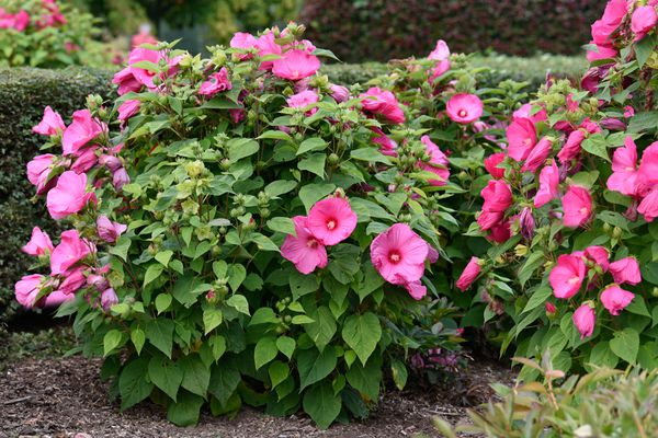 Hardy hibiscus plant trimmed in a circular shape with pink trumpet-like flowers