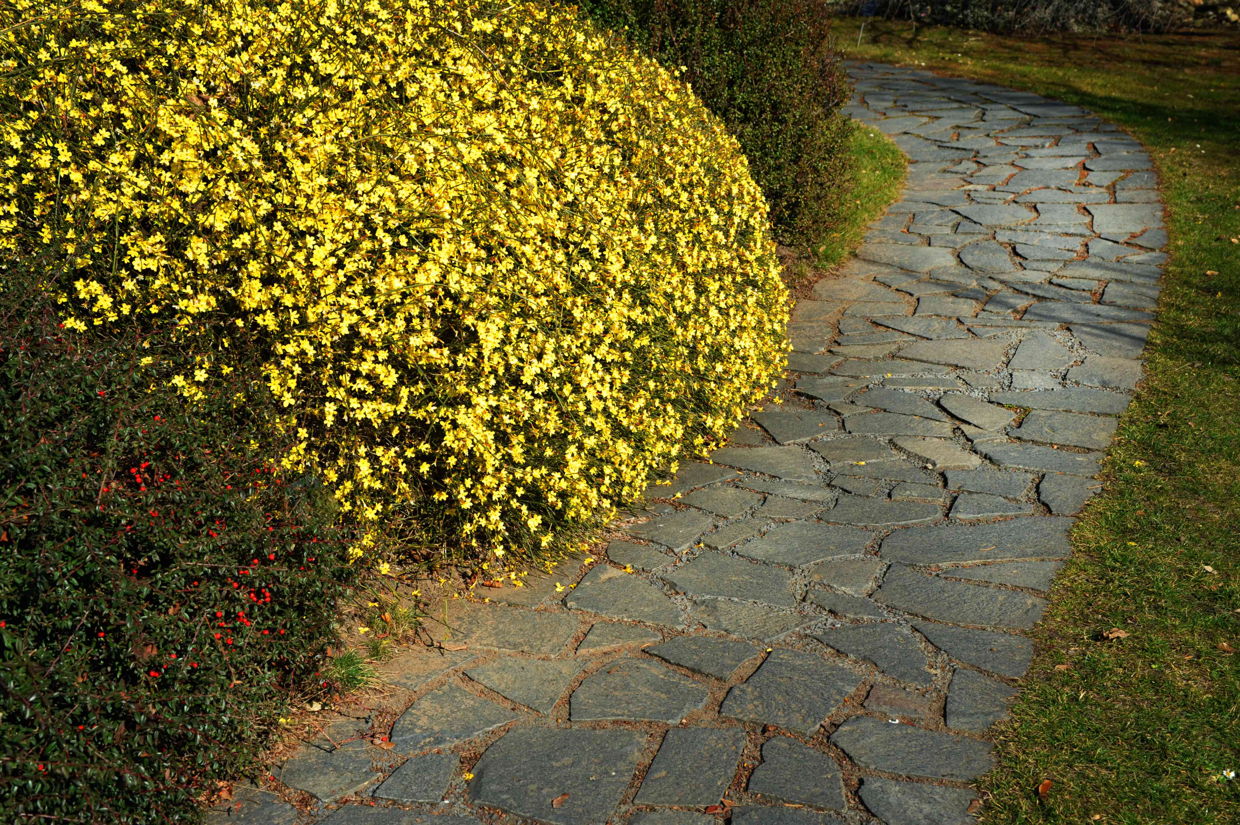 Winter jasmine shrub with yellow flowers alongside garden walkway