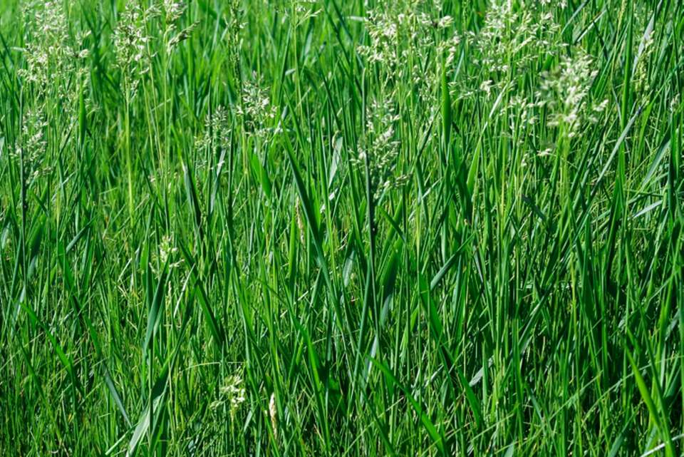 Tall fescue grasses in sunlight with small rhizomes on top of blades