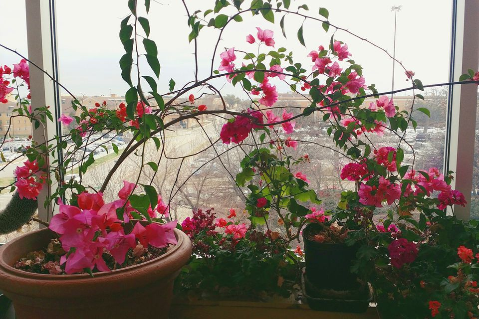 Potted Bougainvillea indoors by a window