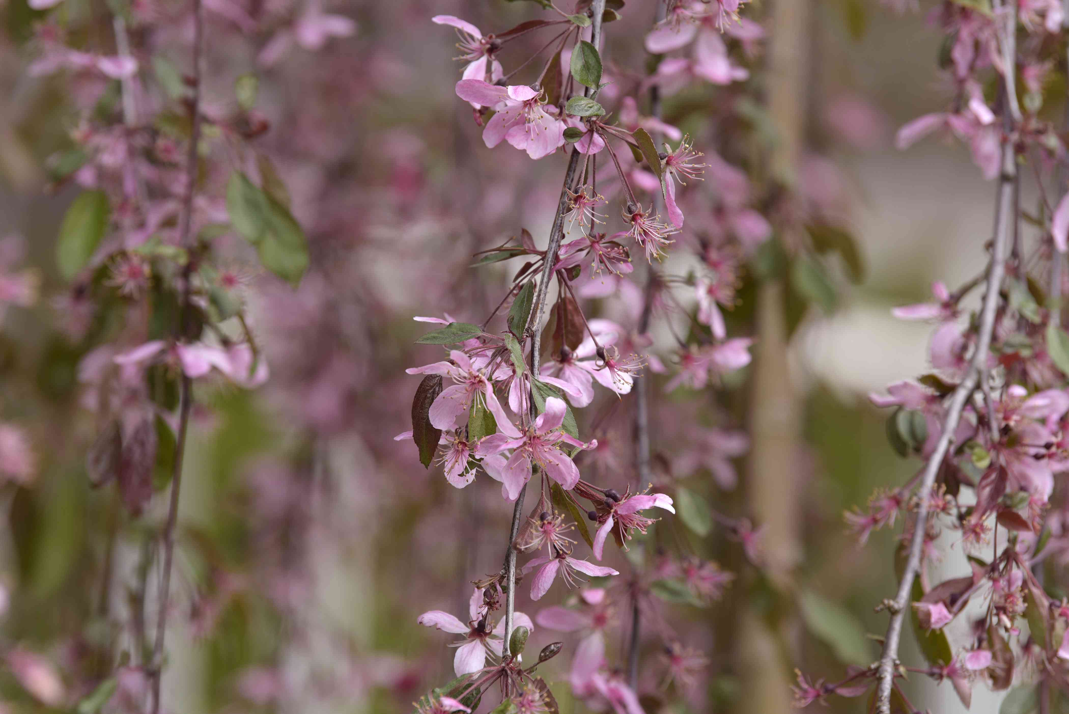 Weeping crabapple tree branches with small pink blossoms closeup