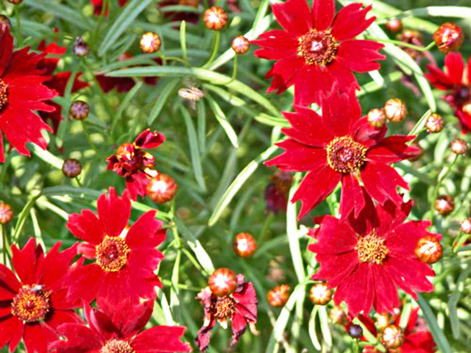 'Limerock Ruby' coreopsis with red flowers
