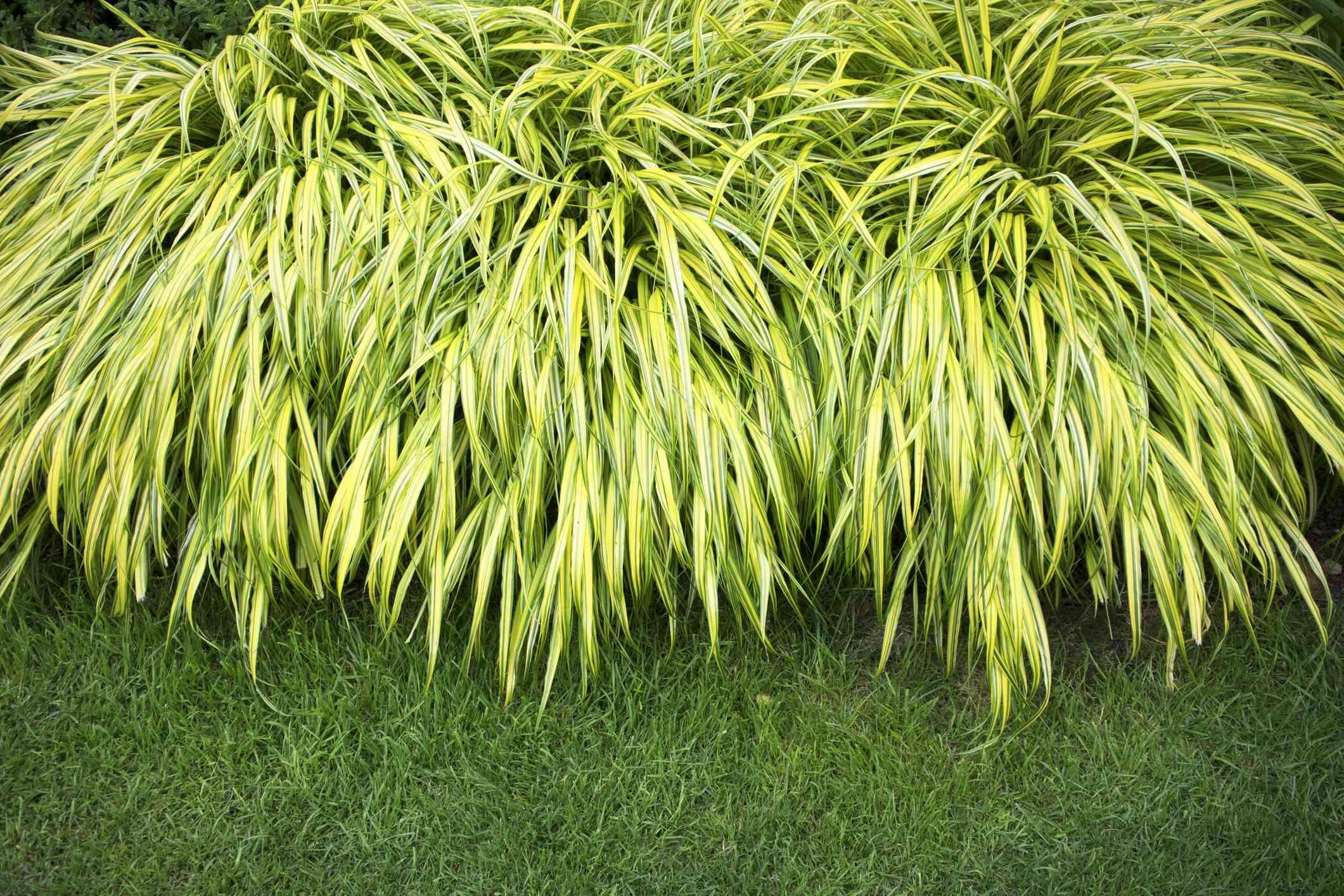 Hakonechloa macra Aureola or Bunchgrass