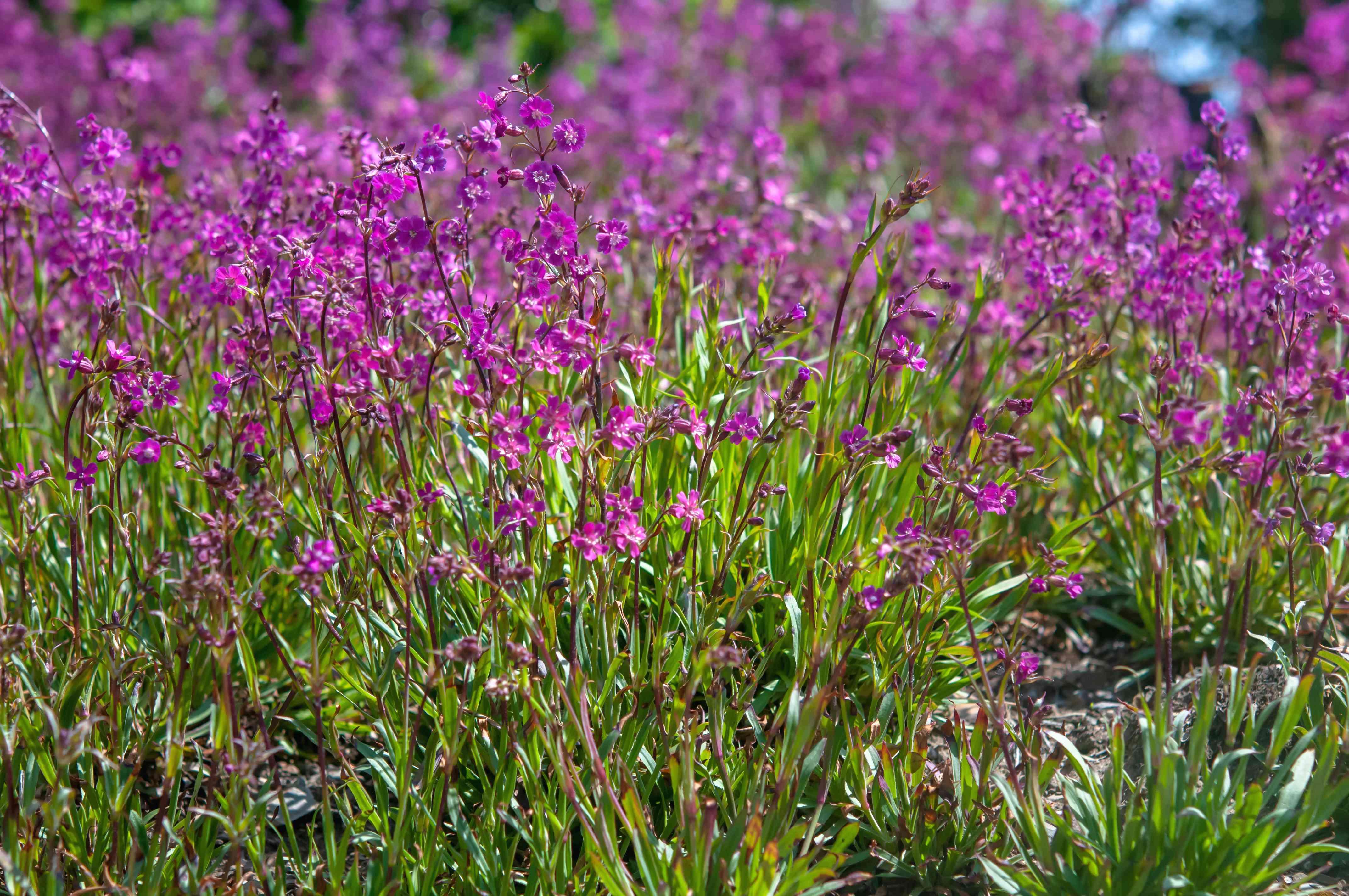viscaria flowers