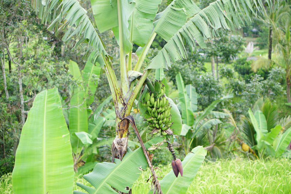 Darjeeling banana plant with small green bananas hanging from flower stem