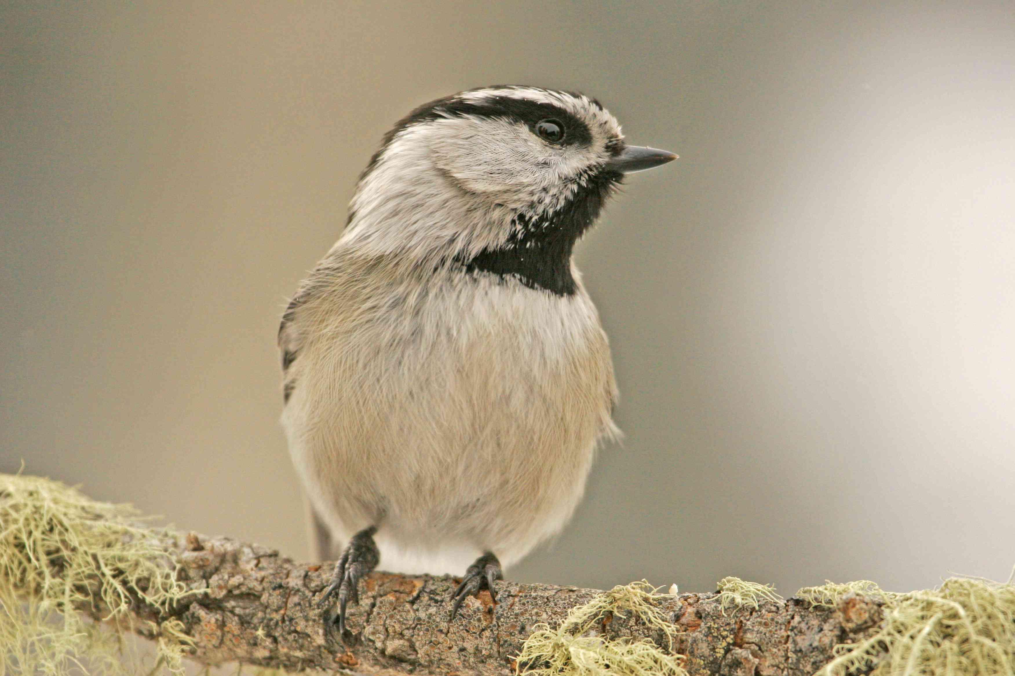 Mountain Chickadee (Poecile gambeli)