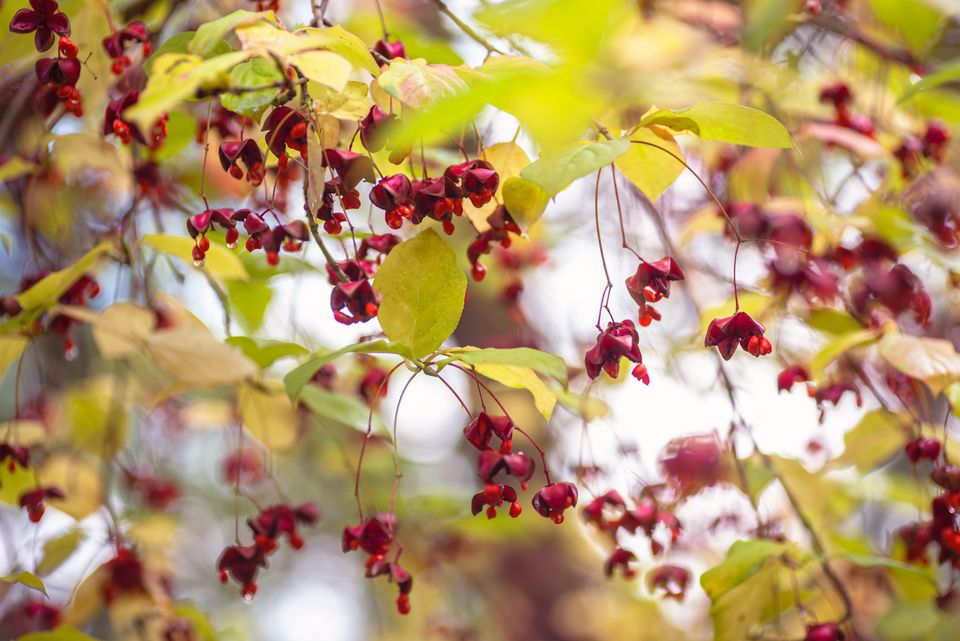 European spindle tree with yellow leaves and small red flowers hanging on thin branches