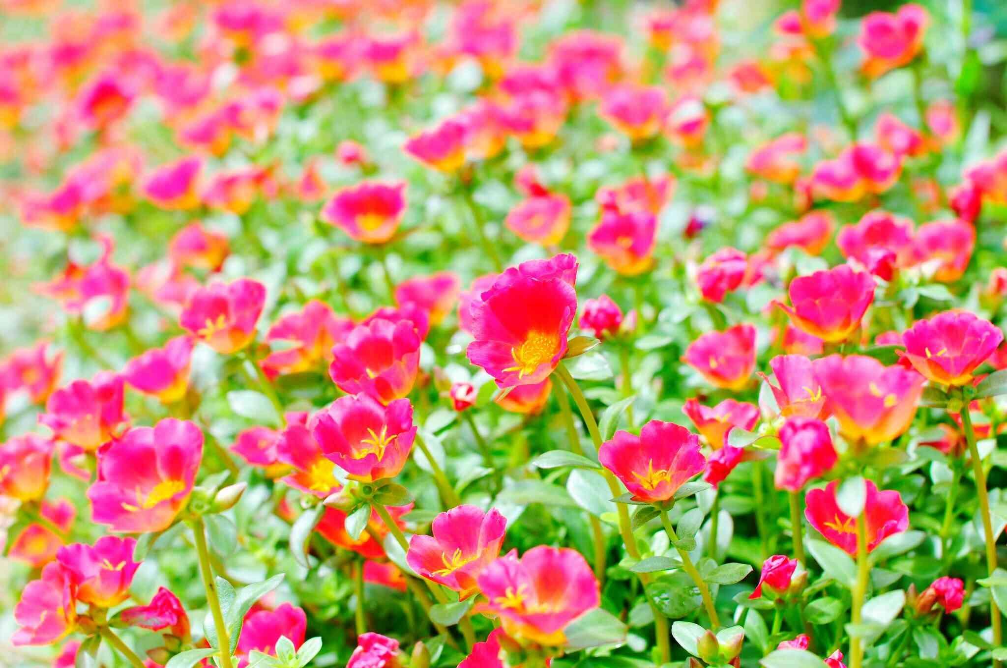 Mass of pink portulaca plants.