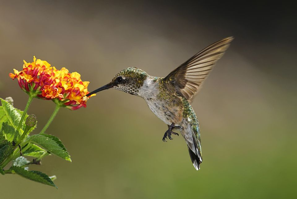 Image: hummingbird feeding at a lantana flower.