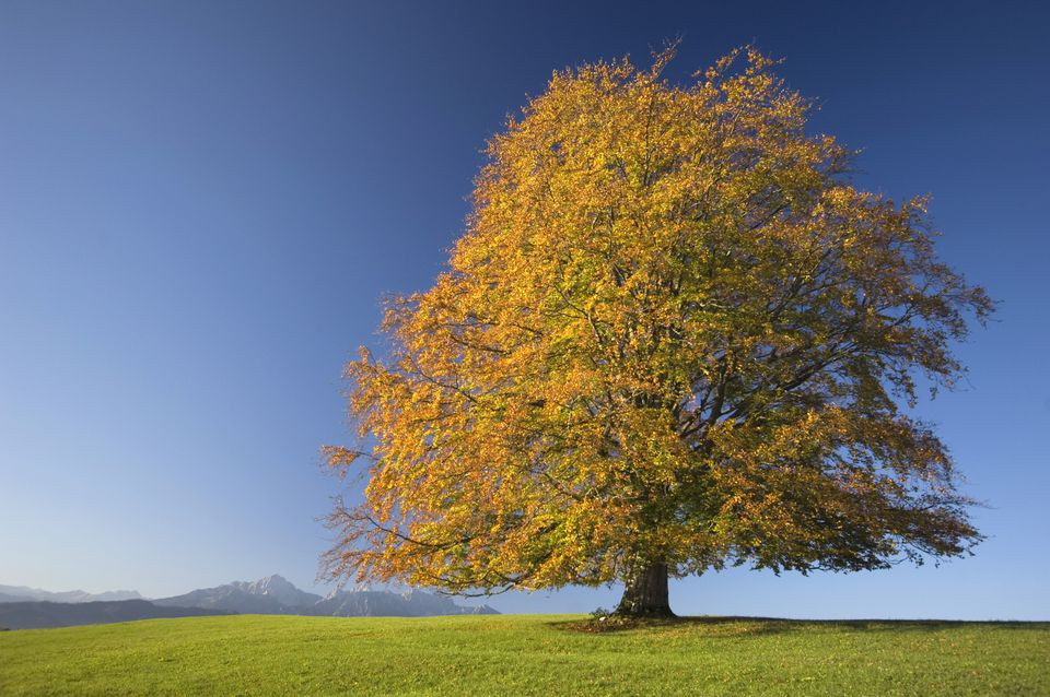 Single beech tree (Fagus sylvatica)